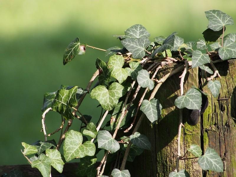 Giftpflanzen f r papageien und sittiche haltung und - Efeu zimmerpflanze giftig ...